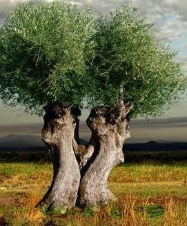 Welcome to our website - Ancient Olive Trees